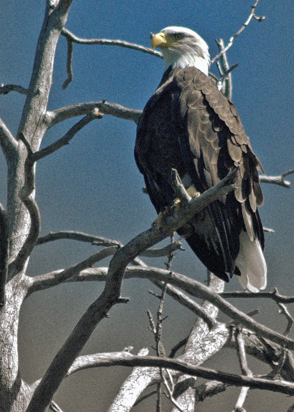 Minocqua Pontoon Cruises Eagle sighting